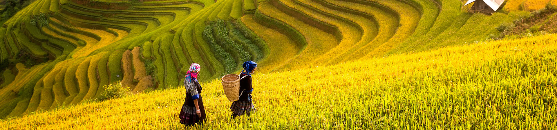 Sapa Terrace rice field